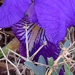 wild iris back.jpg
