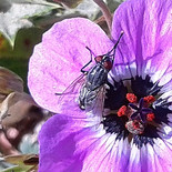 fly on a wildflower back.jpg