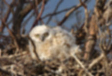 Owl in nest