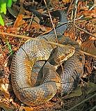 Snake hiking trail hazard
