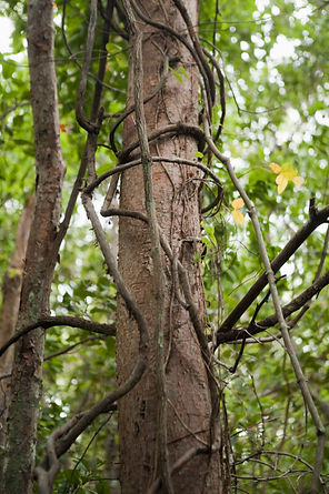 wild vines in a tree.jpg