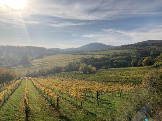 healthy vineyard.jpg