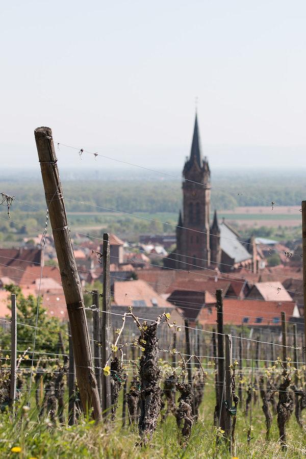 pinot-noir-F-dambach-la-ville-beckhartwe