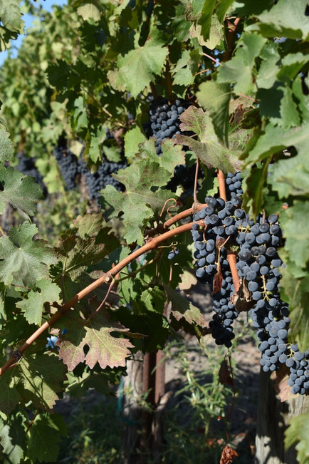 beautiful grapes a sense of place haarle