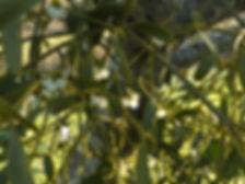 Mistletoe for Acton Scott workshop.JPG