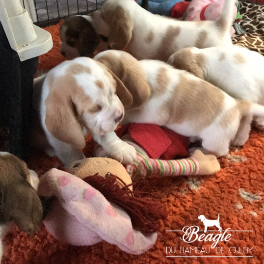 chiots beagles du hameau de culem