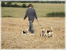 BEAGLES EN CAMPAGNE