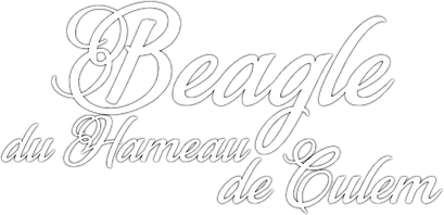 BEAGLE DU HAMEAU DE CULEM