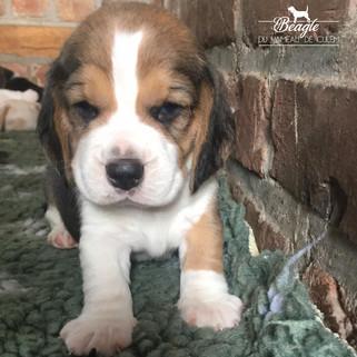 chiot beagle tricolore né le 1 juillet
