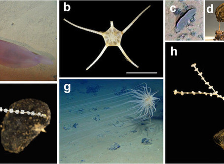 Insights into the abundance and diversity of abyssal megafauna – The advantage of SubC's 1Cam