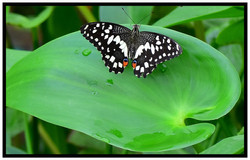 Chequered Swallowtail has Enjoyed Nature's Cup_Set