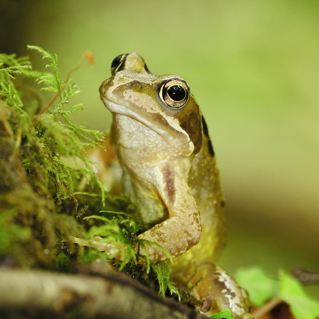 Common Frog_Gen