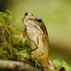 Common Frog_Gen