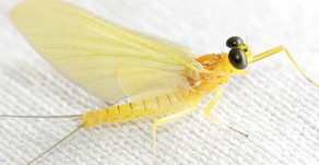 Thoughts on mayflies and fly patterns