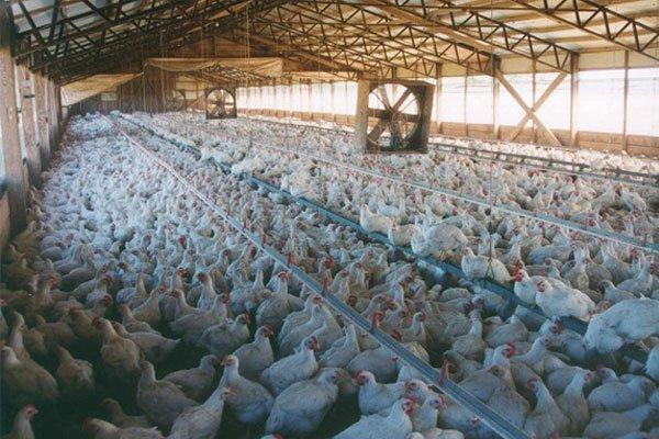 CAFO Chicken Farm