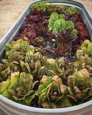 BU Lettuce Bed.JPG