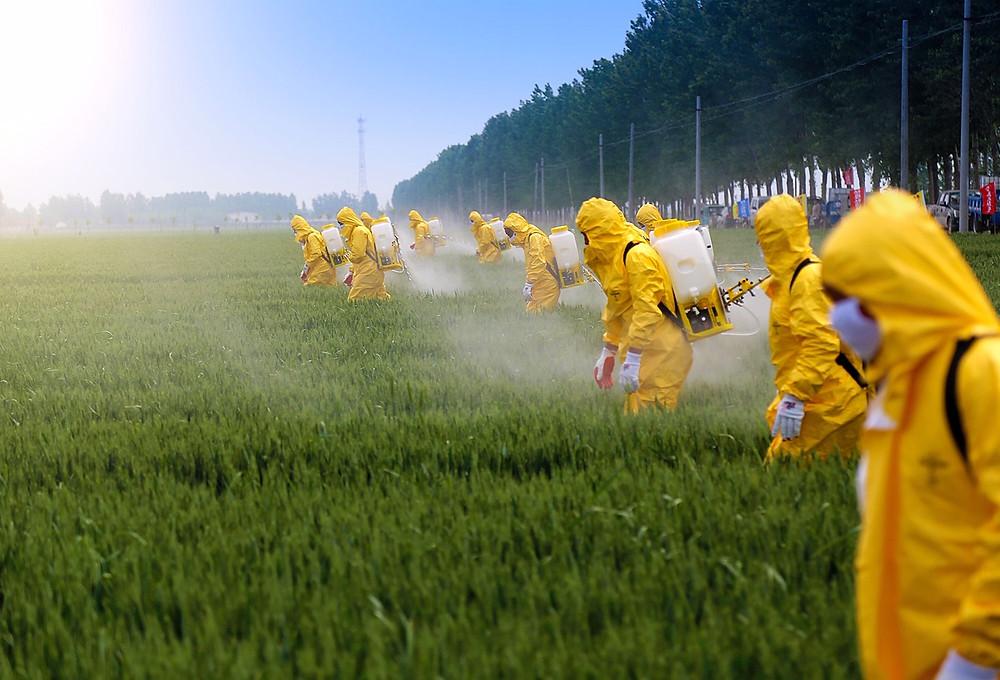 spraying glyphosate on GMO crops