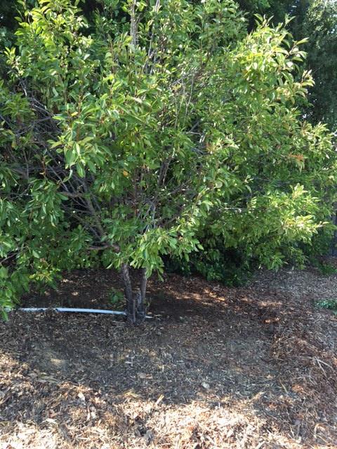 proper mulching of fruit trees