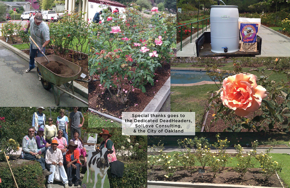 Marcom Rose Garden soil rehabilitation project