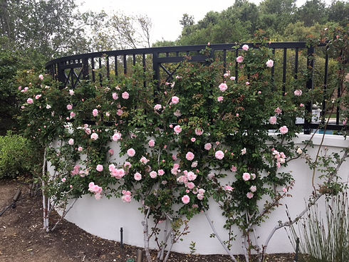 Climbing Roses.JPG