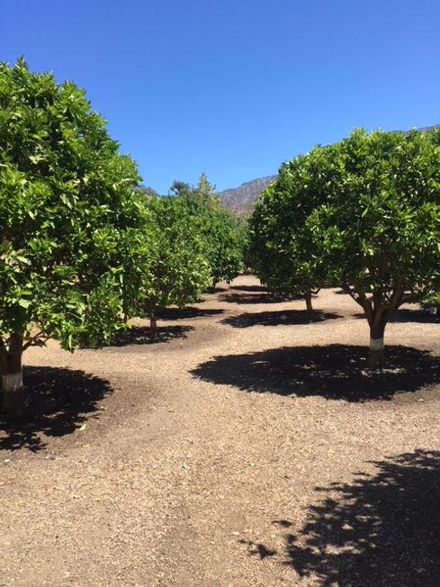Citrus Grove.JPG
