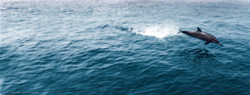 Kuramathi-Spinner-Dolphin.jpg