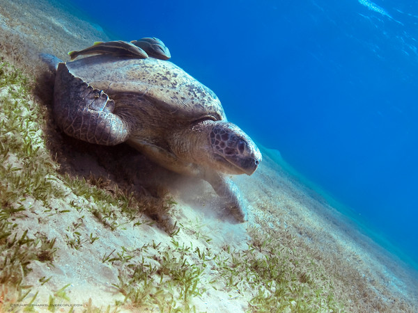 Green-Turtle-Marsa-Alam-6.jpg