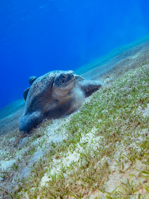 Green-Turtle-Marsa-Alam-1.jpg