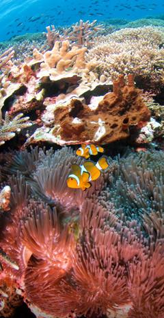 SD Point clownfish 3.jpg
