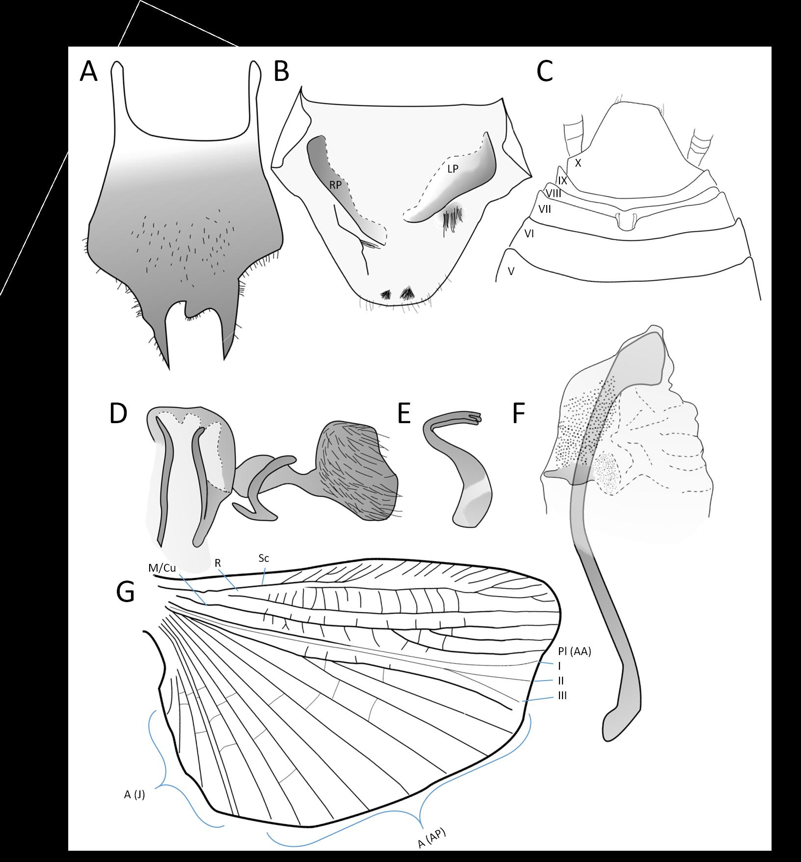 Ischnoptera galibi parts
