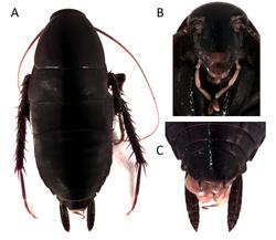 Lamproblatta albipalpus