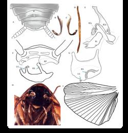 Xestoblatta berenbaumae