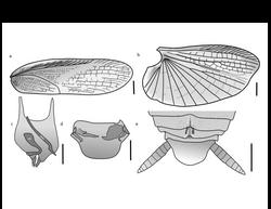 Ischnoptera miuda 2