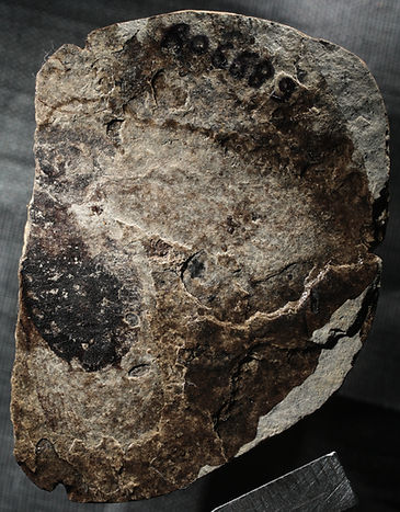 """Gyna"" obesa, fossil cockroach, oldest blaberidae"