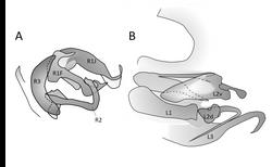 Lamproblatta albipalpus genitalia