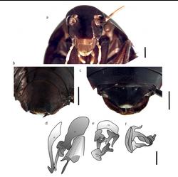 Lamproblatta antoni 2