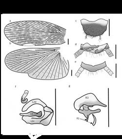 Buboblatta vlasaki 3