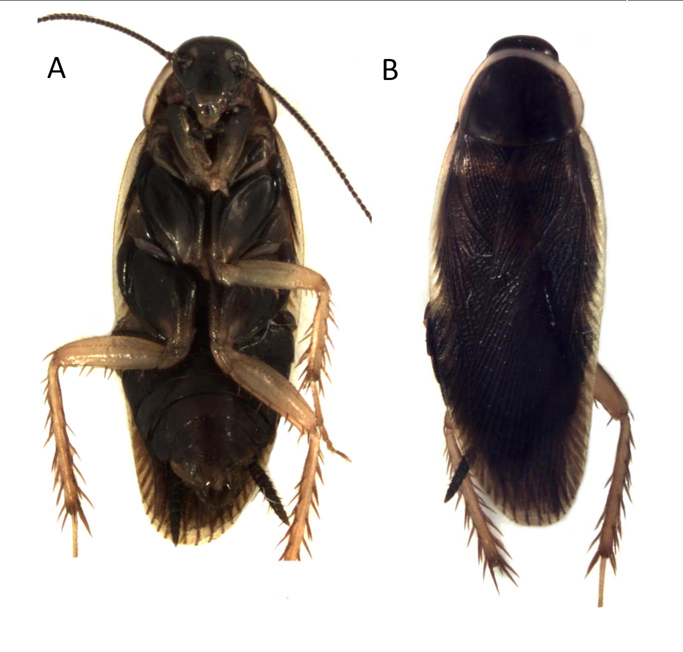 Ischnoptera galibi