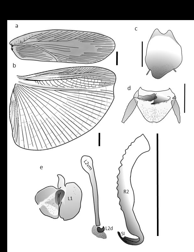 Epilampra amapae 2