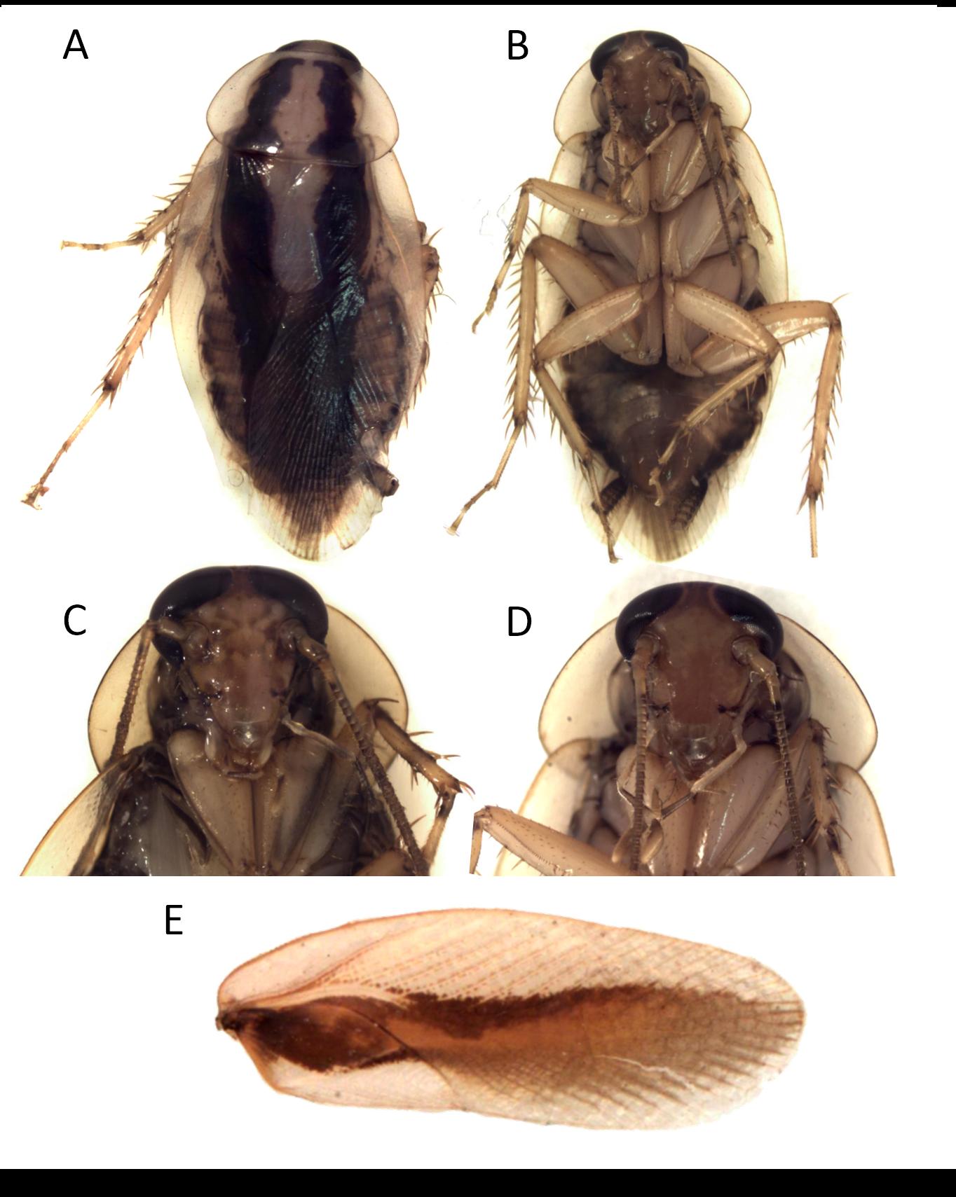 Dendroblatta sobrina syn. litura