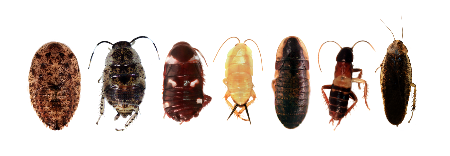 Diverse array of guyanese roaches