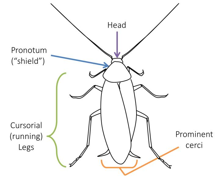 Cockroach morphology overview