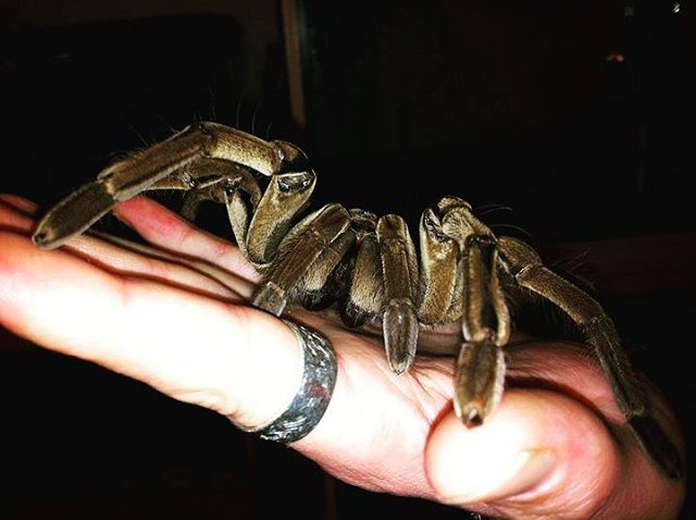 #Klaude the #male #goliath #birdeater #therophosastirmi #big spider #arachnidsofinstagram #arachnid