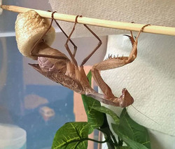 So after a Cpl of weeks of waiting, I missed the start of this #female #africanlinedmantis laying he