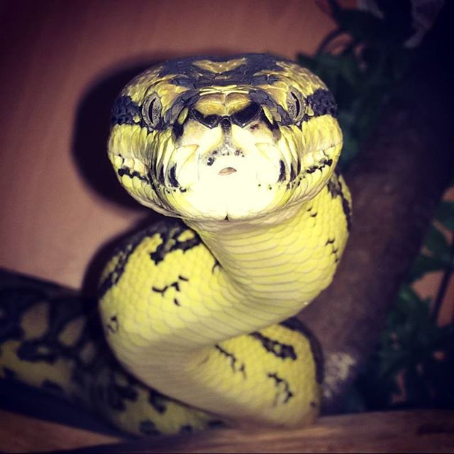 #thebiggirl #De the #junglejaguarcarpetpython she's around 9ft of #gorgeous #sexy #snakeness #reptil