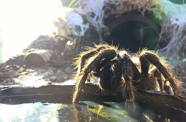 #rex - #thebiggirl she's gonna #molt any day now. She lost a #pedipal last year so can't wait to see