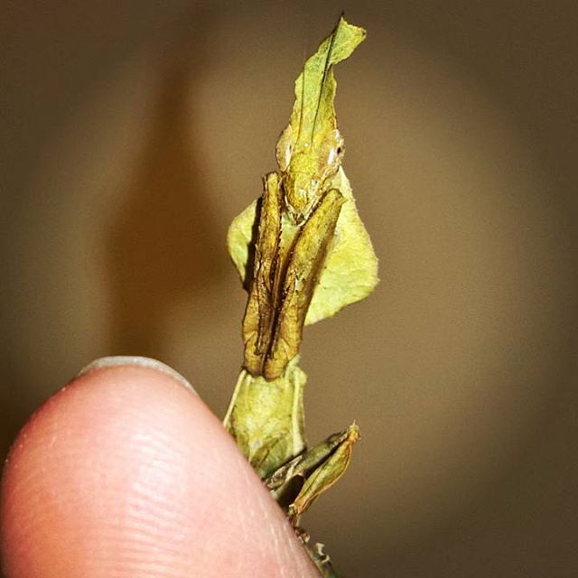 A #beautiful adult #ghost #mantis _If you look real close you can just about see her 3 #simpleeyes b