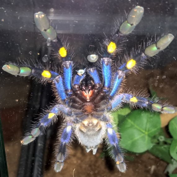 #poecilotheriametallica #chilling on the glass..