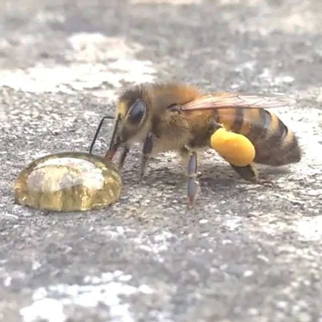 Just helping out a #tired little #bee with a lickle bit of #honey #helpthebees #britishwildlife #liv