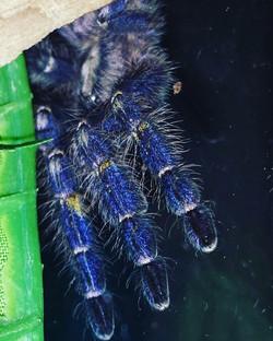 #peekaboo Meet #gootysapphireornamental #Number1 Who says #spiders aren't #beautiful #TDW #tropicald